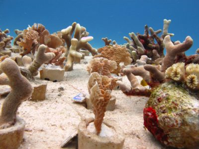 Cozumel Coral Reef Restoration Project